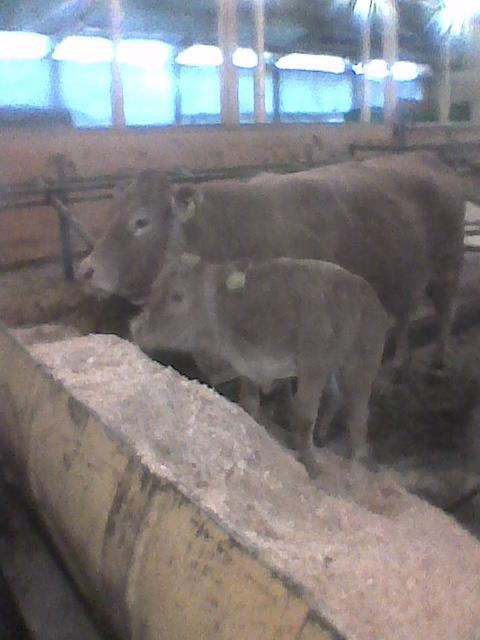 kalv i skopa