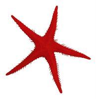 Sjöstjärna 250mm