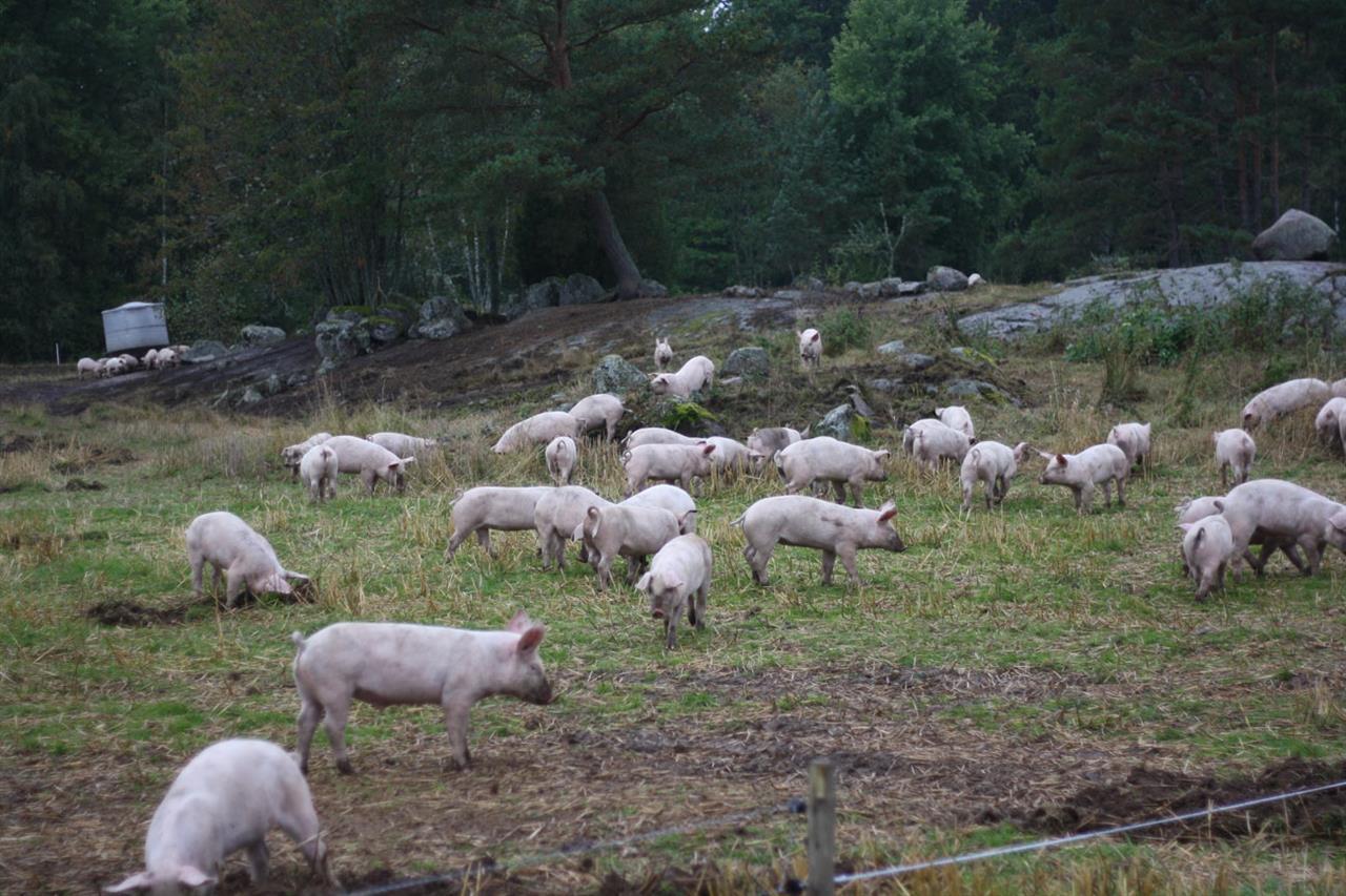 Grisar grisar överallt
