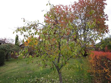 Plommonträd efter beskärning
