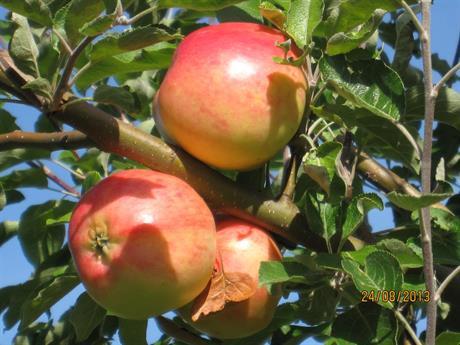 Godare frukt