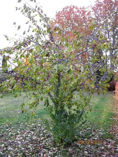 Plommonträd före beskärning