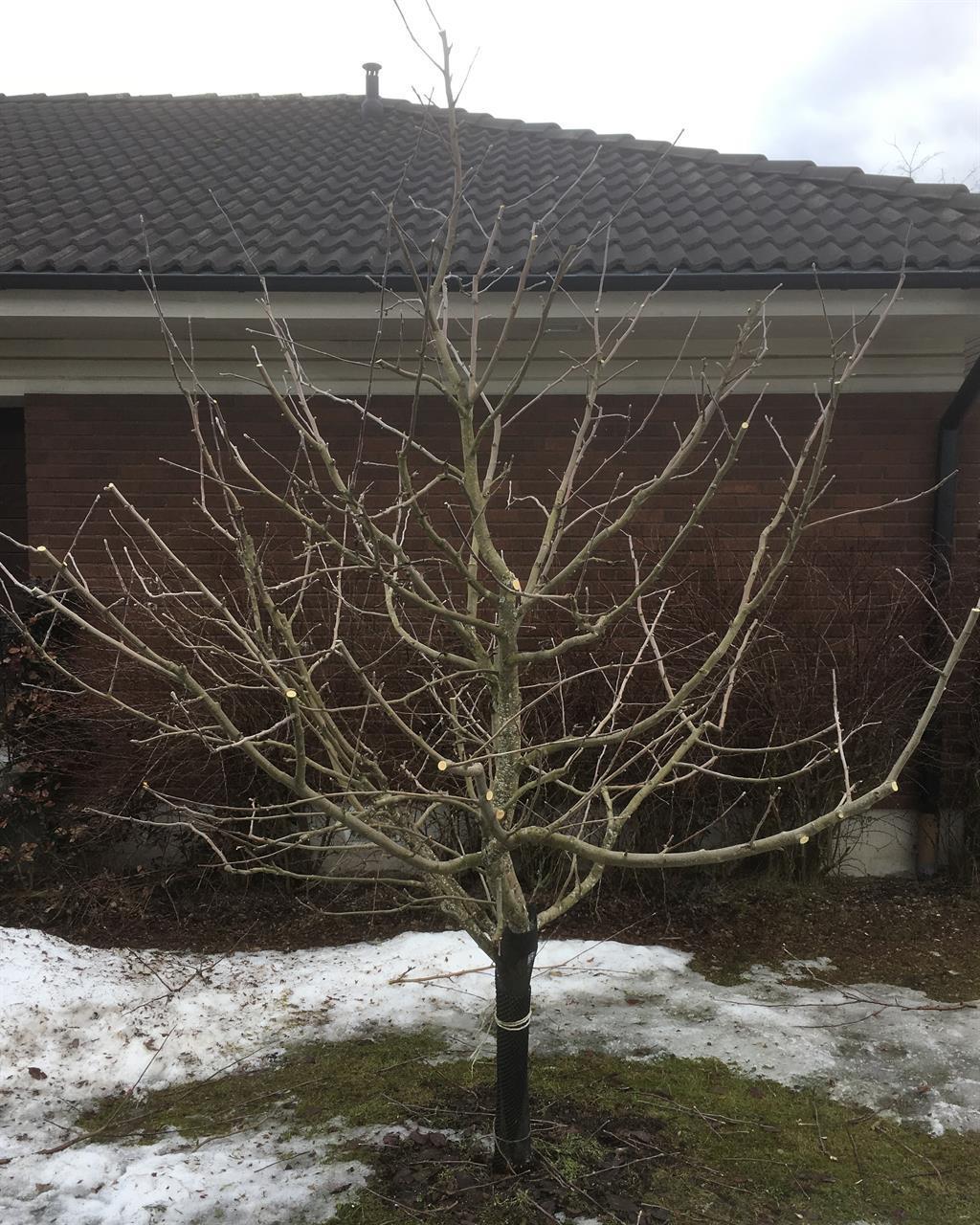 Ungt familjeträd efter beskärning