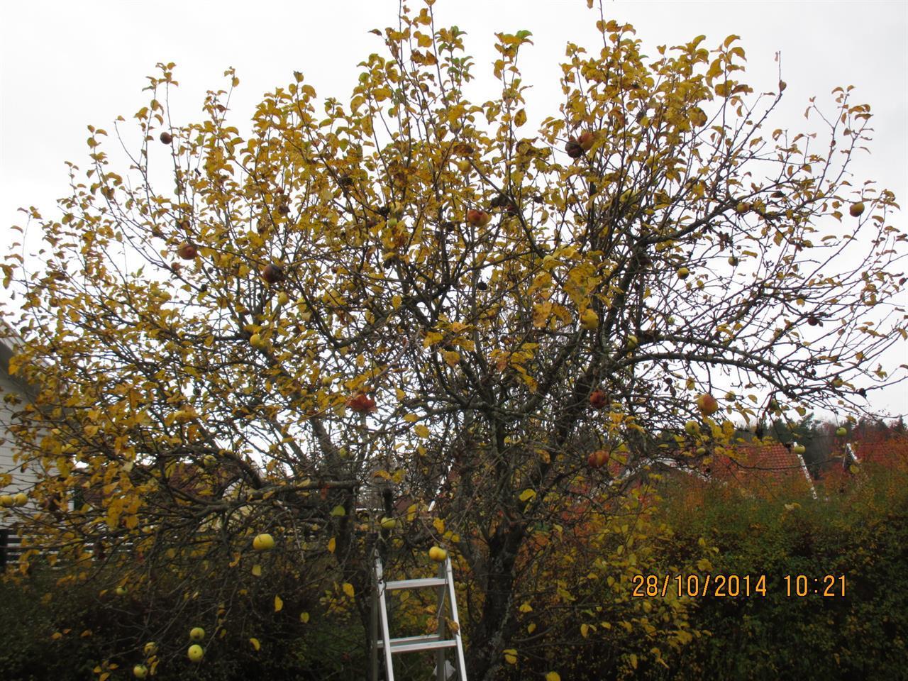 Äppelträd före beskärning