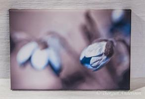 Tavla canvas foto blå anemone