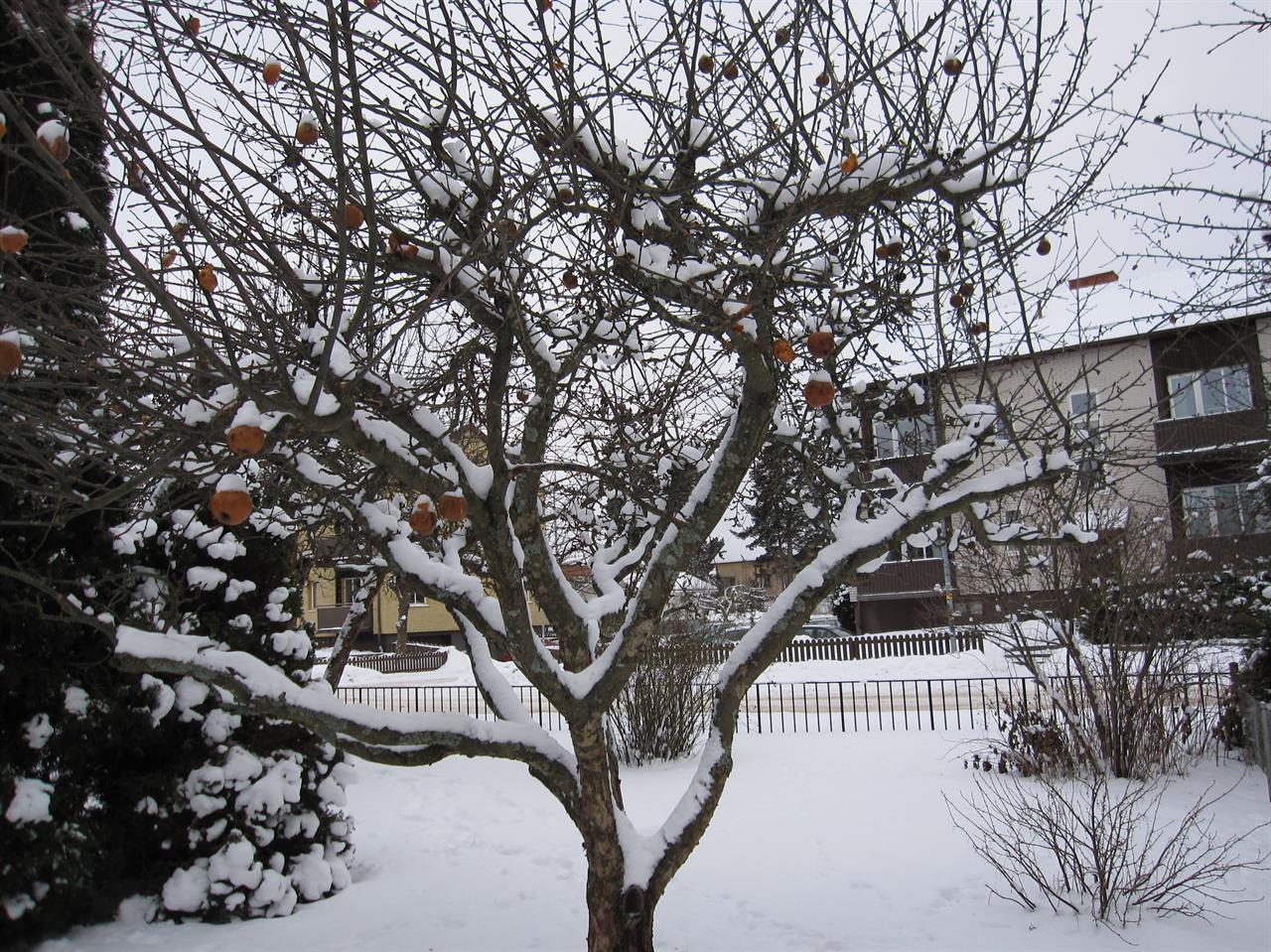 Medelstort äppelträd före beskärning