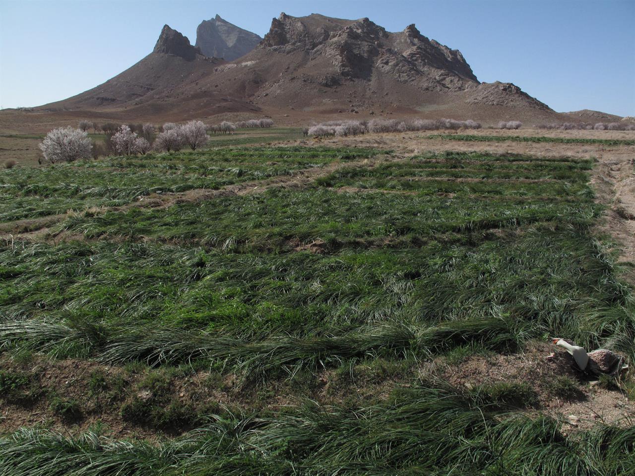 Safranplanter nær Kerman by