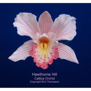 Blomsterform Orkidè preger (Cattleya Orchid)