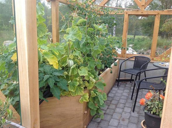 odlingsbänkar med gurka,melon mm  tomater odlas i krukor på golvet andra sidan samt plats för kaffepaus