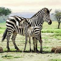 Zebramotiv