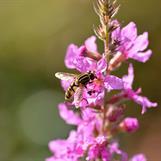 En blomfluga i fackelblomstret