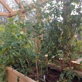 Tomater o meloner
