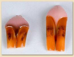 Bäver/beaver tänder, large