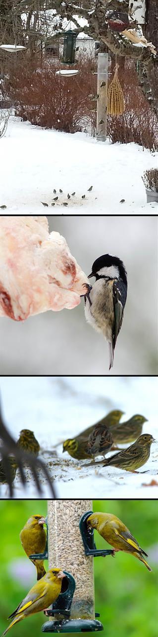 Fågelmatning i villaträdgård