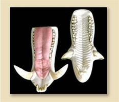 Vildsvin/wild boar tänder, XL (ryss)
