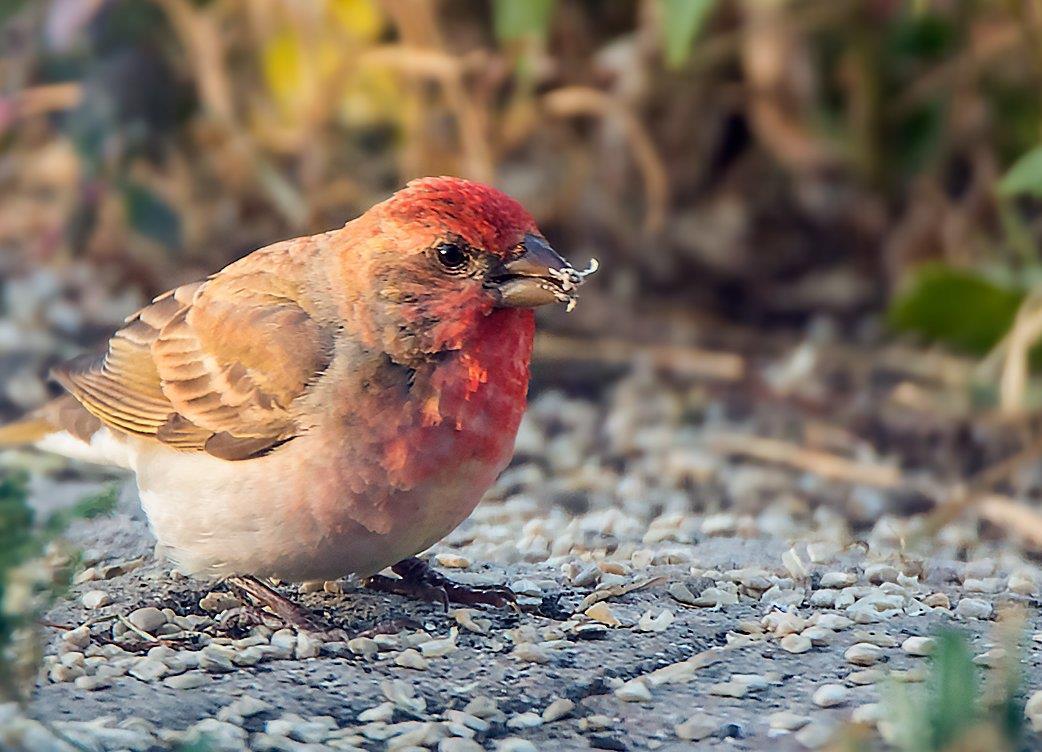 Rosenfink, röd fågel vid fågelmatning i maj