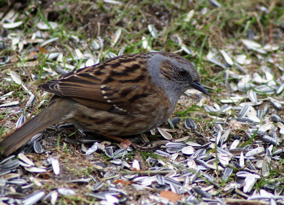 Järnsparv äter fågelmat i trädgården