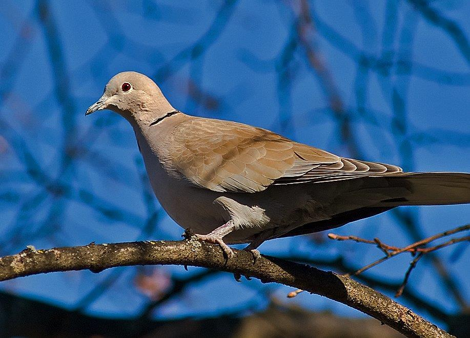 Turkduvan kommer ofta i par till fågelmatningen