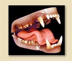 Svart/brun björn tänder x-smal