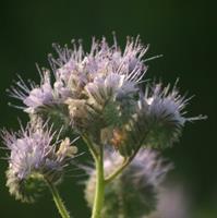 Blommor som lockar insekter - 150g