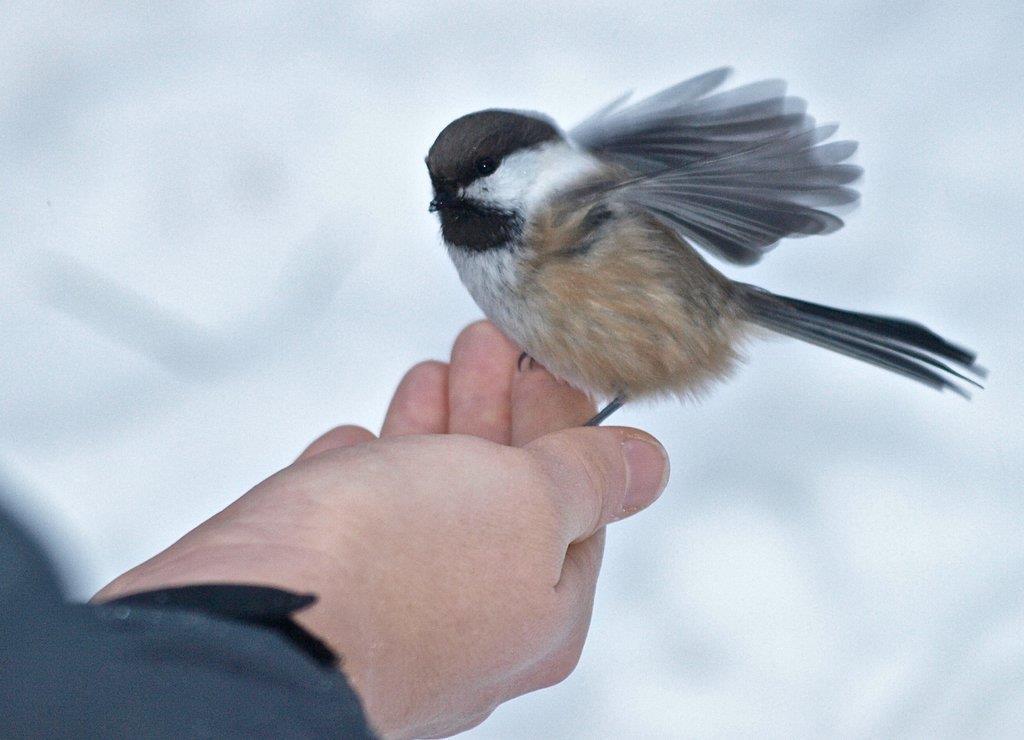 Lappmesen äter gärna fågelfrön ur handen