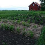 Täckodling i grönsakslandet