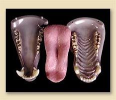 Svart/brun björn tänder,smal