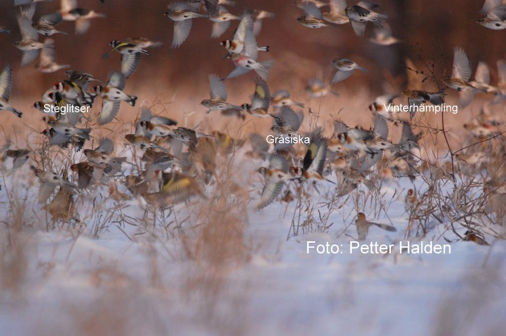 Rapsfält som fågelrestaurang