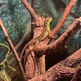 Basiliscus plumifrons, CB 2021