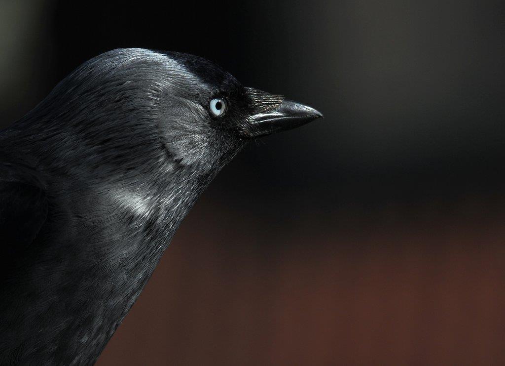 Kajan, intelligent fågel som ofta kommer till fågelbordet