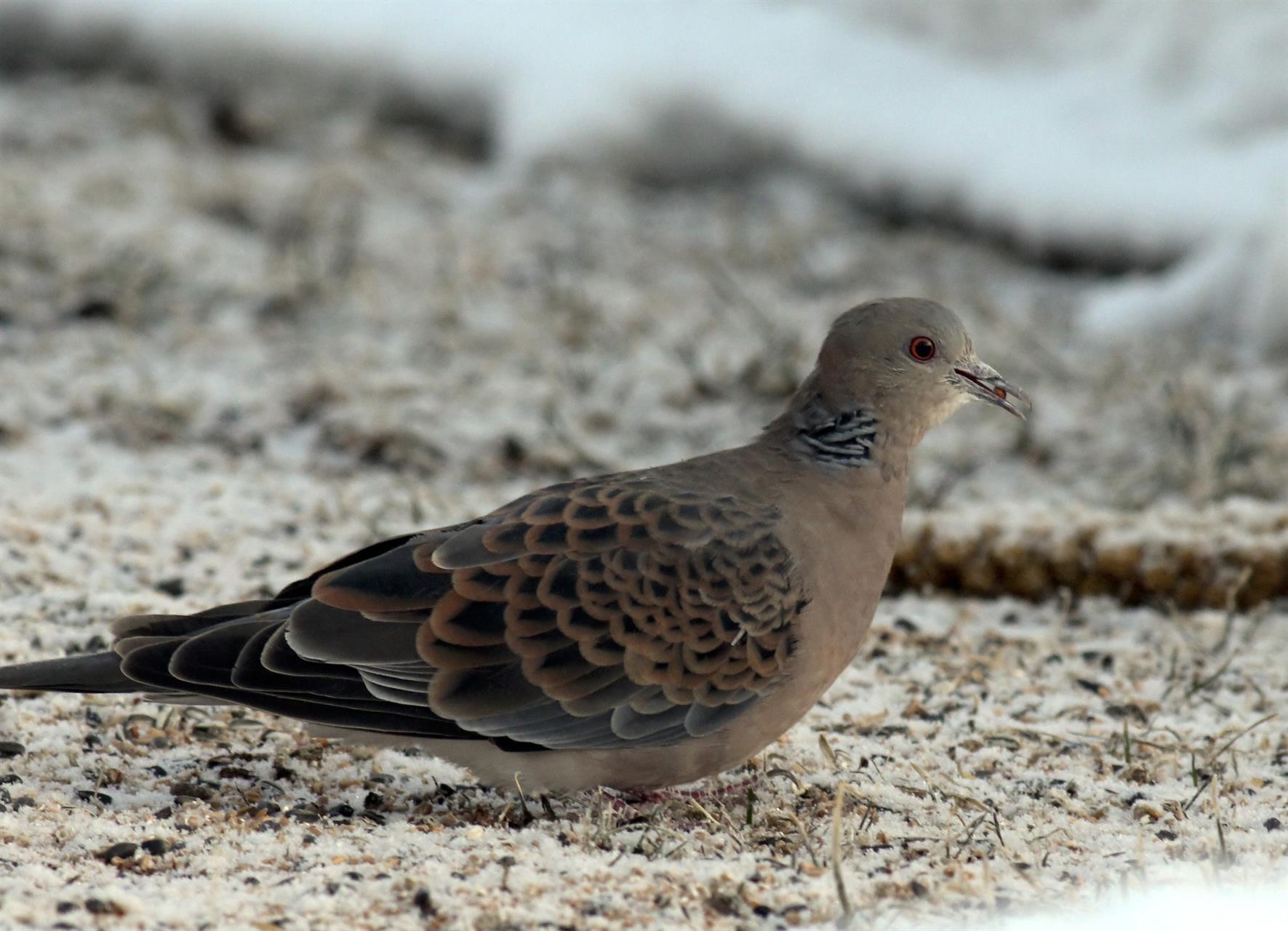 Större turturduva på fågelmatning
