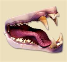 Grizzly björn tänder, medium
