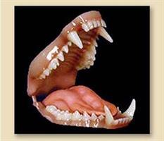 Tvättbjörn/raccoon tänder, M