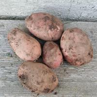 Potatis utsäde 5 st