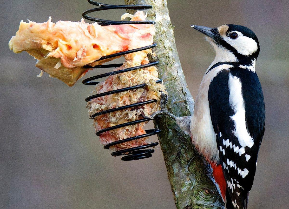 Större hackspett äter slåttergubbens ekologiska talg.