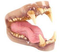 Svart/Brunbjörns tänder,medium