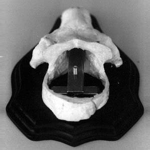 Mont.beslag för pannben rådjur