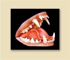 Grävling/badger tänder, medium