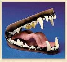 Varg/wolf tänder, medium