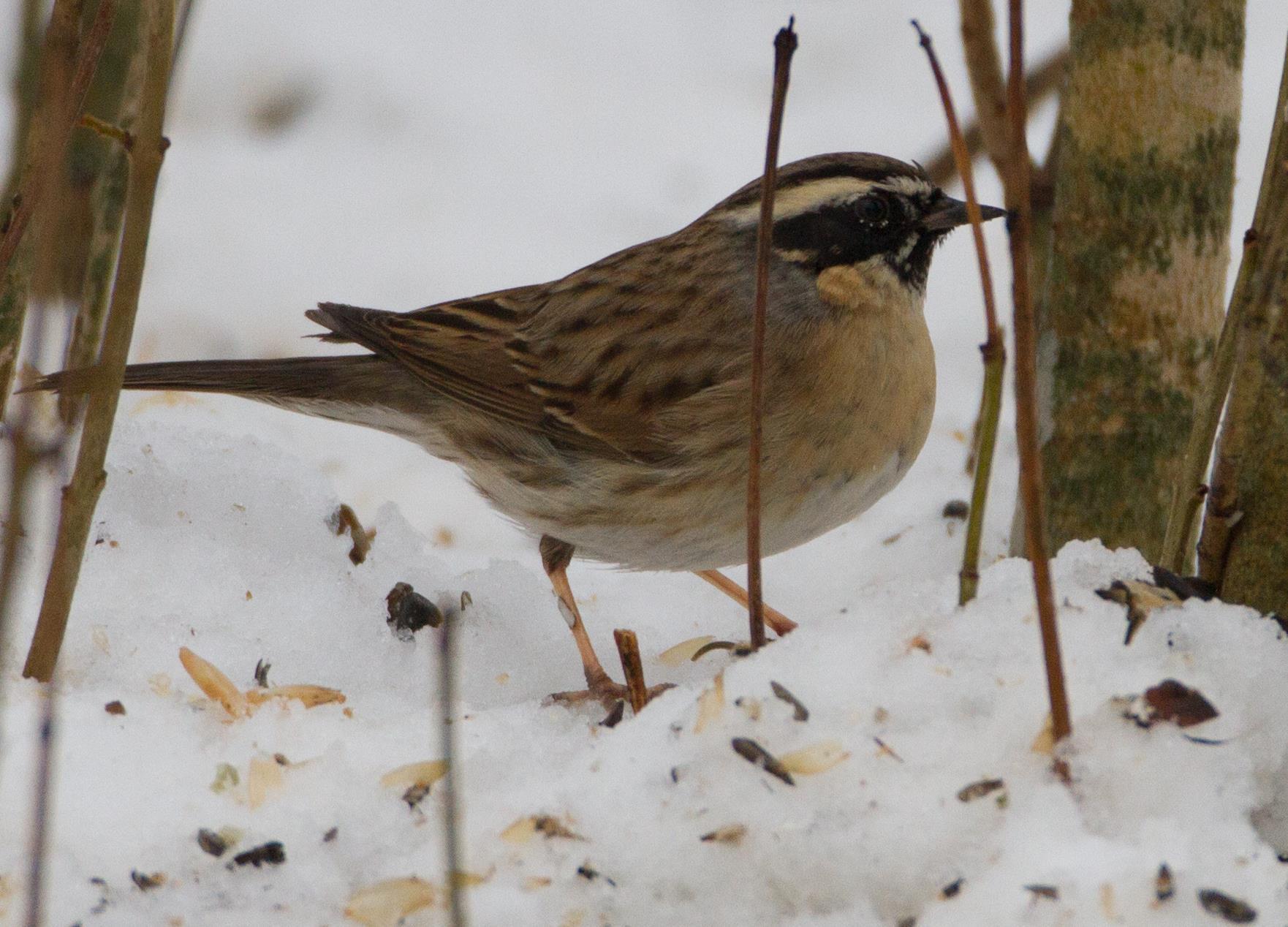 Svartstrupig järnsparv på fågelmatning vid ett bakslag i april