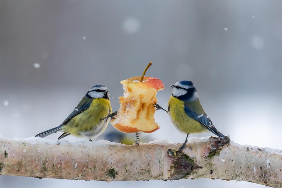 Blåmesar äter äpple