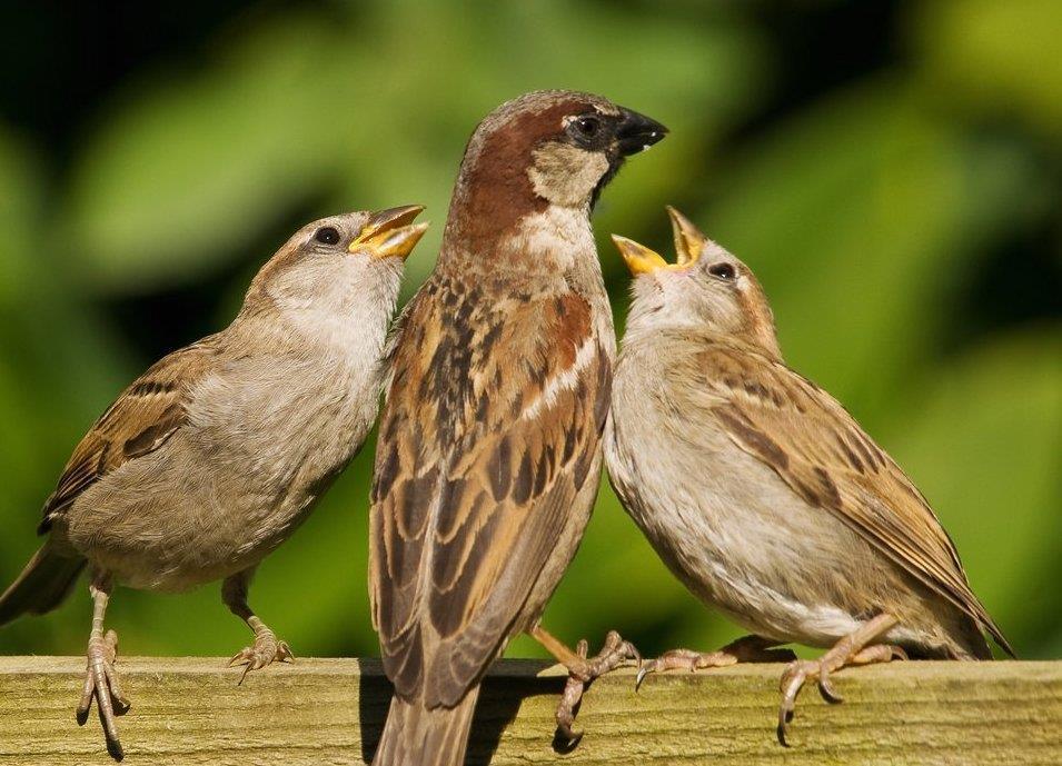 Gråsparven äter gärna ekologiska åkerfrön som fågelfrö