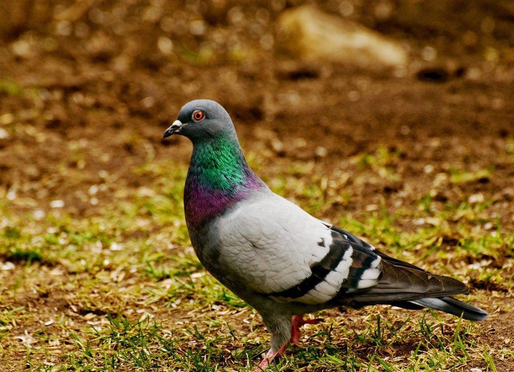 Tamduva på fågelmatningen