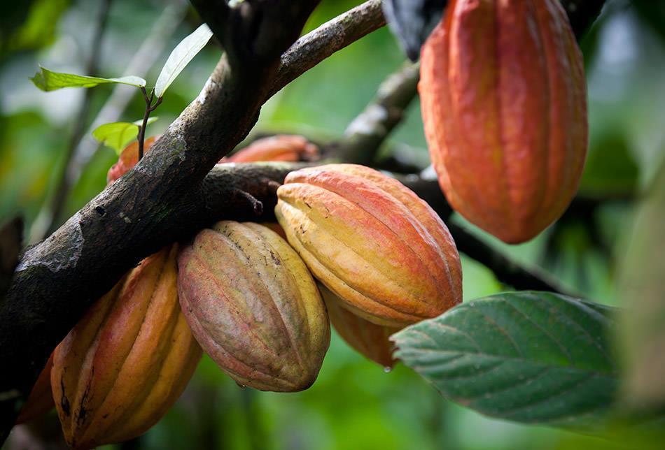 Single Origin økologisk sjokolade fra Uganda