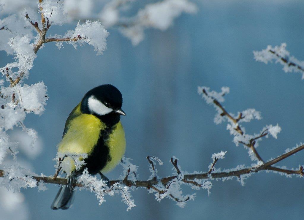 Talgoxe i vinterlandskap