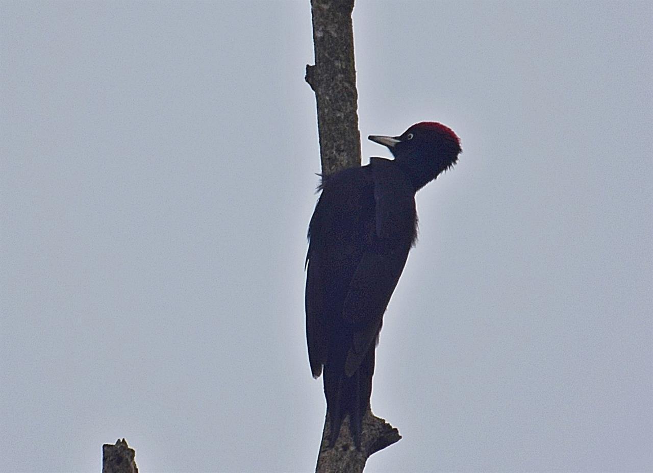 Spillkråkan, en fågel som helst hackar ut sin fågelmat