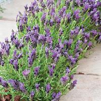 Lavendel Skärm- 'Bandera Purple'