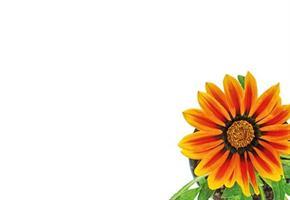 Oasis Kort brunt orange gerbera daisy