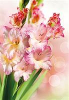 Kort Vikbara Gladioli 25/fp