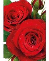 Kort Vikbara Red roses w.drops 25/fp